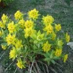 Hazara - Abbotabad Mushkpuri Flowers