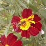 Murree - flower with full blosum