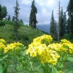 Flowers in Mushk Puri abbotabad