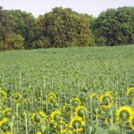 A greeny view of sunflowers field in a village of Rahim Yar Khan