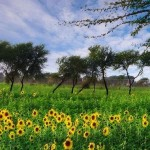 Attractive view of sunflowers field with plants