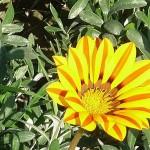 Gazania flower in Race Course Park (Jilani Park) Lahore