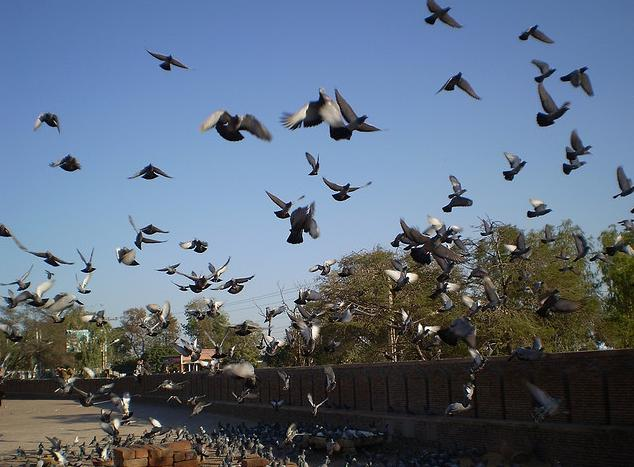 Pigeons at the Shrine of Hazrat Bahauddin Zakariya Multani