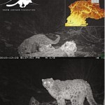 Snow Leopards Photographs in Khunjerab National Park Gilgit Baltistan near China Border Pakistan using Night Vision Cameras