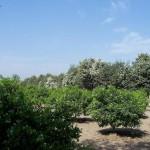 Vehari - Citrus Kinno Orange field view plants