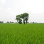 Vehari District - a lush green fields in a village