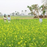 Bahawalnagar District - a green & yellow field