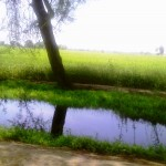 Lush Green Field Near My Village in at Sirai Siddu Rd, Tehsil Kabirwala Zila Khanewal