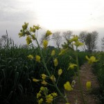 Mian Channo District Khanewal - a lush green field