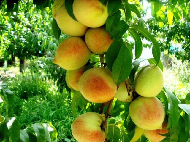 Peaches of Swat Valley (6) – Paki Mag
