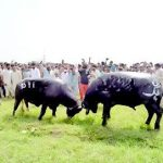Buffaloes Fight in Gujranwala - PMLN Beat PTI